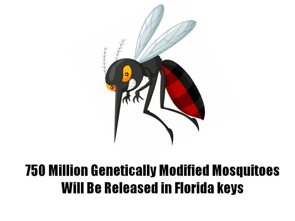 genetically modified mosquito